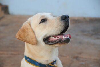 Najlepsza hodowla Labradorów w Polsce – wybór hodowli