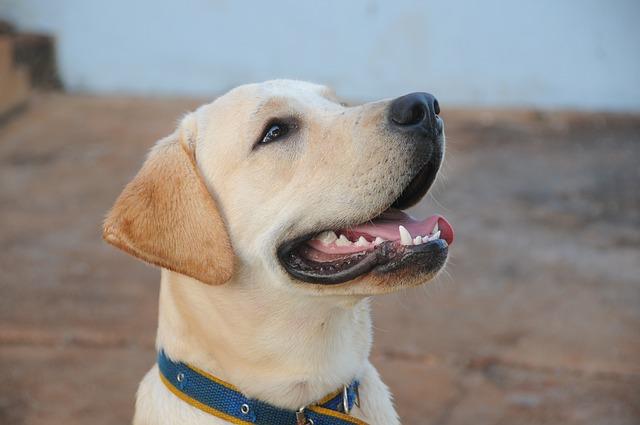 Najlepsza hodowla Labrador retriever