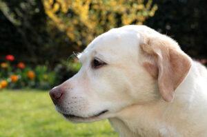 Labrador retriever zdrowie