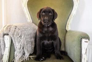 Szczeniak Labrador Retriever - wszystko co musisz wiedzieć o małym Labradorze