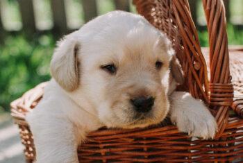 Miot Labrador Retriever – przydatne informacje