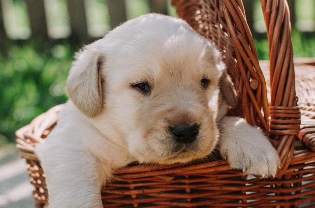 Miot Labrador Retriever, planowane mioty
