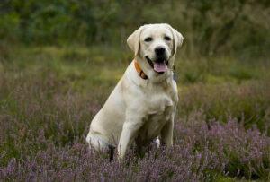 Opieka i pielęgnacja Labradora. Jak opiekować się psem