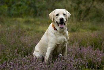 Opieka i pielęgnacja Labradora – jak opiekować się psem?