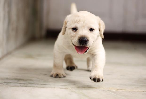 Planowane mioty Labrador Retriever