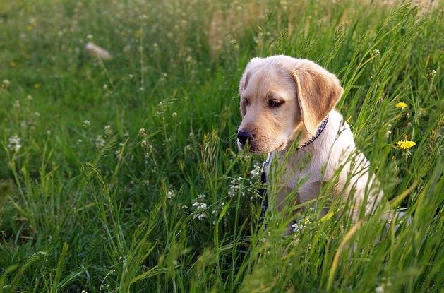 Mały Labrador Retriever o kremowym umaszczeniu bawi się na łące