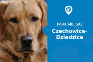 """Labrador w Park Miejski """"Lasek"""" Czechowice-Dziedzice"""
