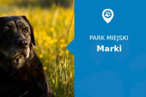 Labrador w Park Miejski Marki