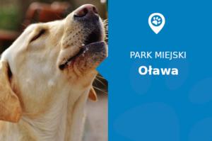 Labrador w Park Miejski Oława