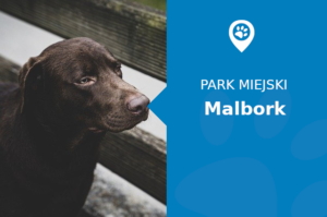 Labrador w Park Północny Malbork