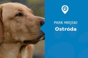 Labrador w Park przy Amfiteatrze Ostróda
