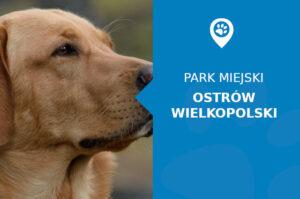 Labrador w Parku Miejskim im. Jana Jerzego Przebendowskiego Ostrów Wielkopolski