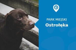Labrador w Parku miejskim Ostrołęka