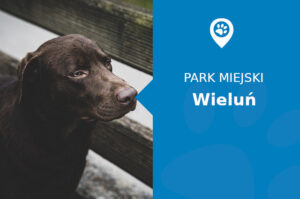 Labrador w Parku Miejskim im. Żwirki i Wigury Wieluń