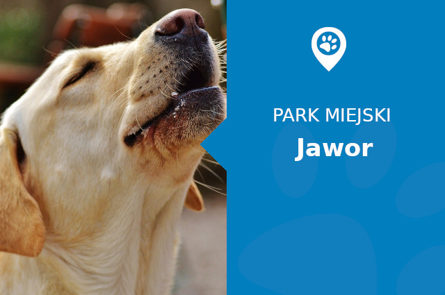 Labrador w Parku Miejskim Jawor