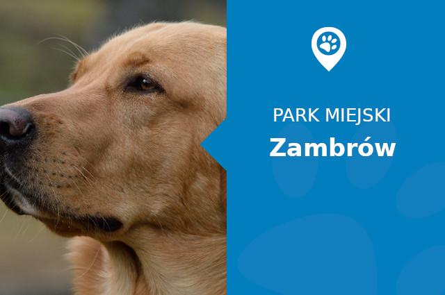 Labrador w Parku Miejskim Księży Lasek Zambrów