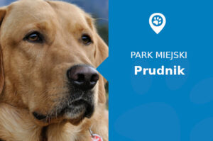 Labrador w Parku Miejskim Prudnik