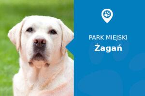 Labrador w Parku Pałacowym Żagań