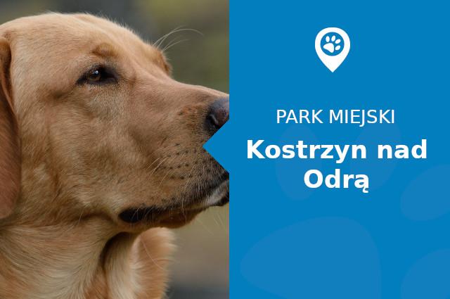 Labrador w Parku Przy Amfiteatrze Kostrzyn nad Odrą